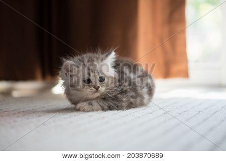 Lazy Kitten In Home