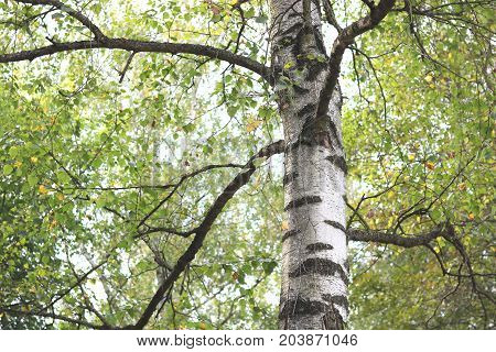 Beautiful birch in forest in early autumn
