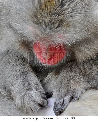 Close up of a Japanese macaque monkey
