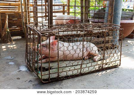 Caged Pig In Nga Bay, Vietnam