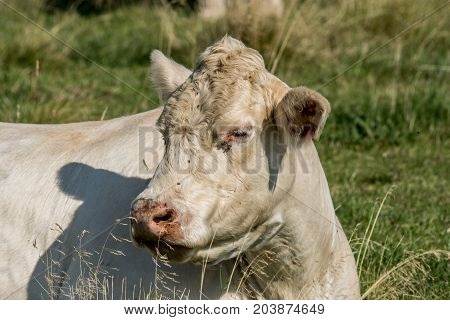 Closeup Of A White Cow Resting In The Green Grass