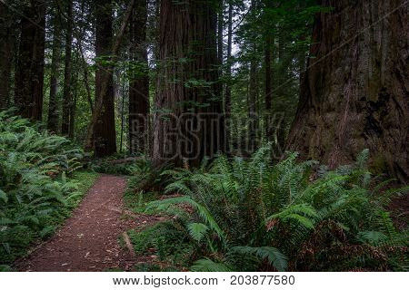 Thick Ferns And Tree Trunks In Redwood Forest