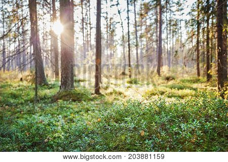 Bog in autumn forest with trees and lingonberries
