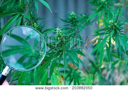 Magnifying Glass On A Background Of Green Hemp. Cannabis High Quality. Marijuana. Hemp. Cannabis In
