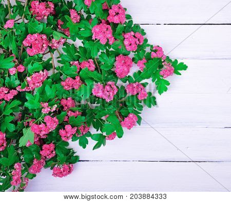 branch of a flowering hawthorn with pink flowers on a white wooden background empty space on the right