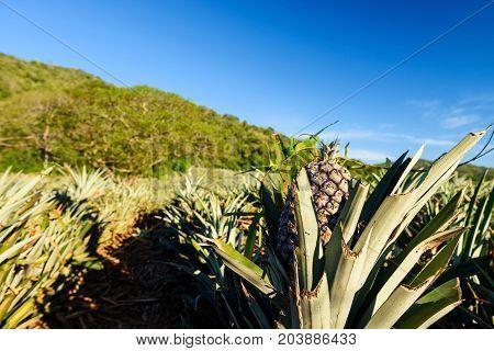 Fresh Pineapple Tropical Fruit In Farm
