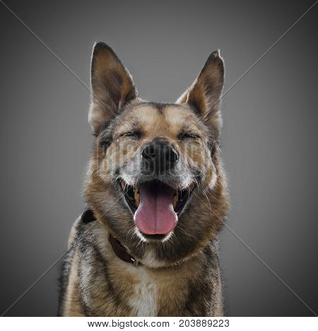 Cute dog smiling on a gray background, the symbol of 2018.