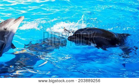 Dolphin Catches And Eats The Fish. Glad Beautiful Dolphin Smiling In Blue Swimming Pool Water On Cle