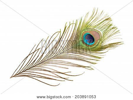 colorful feathered tail of a male peacock
