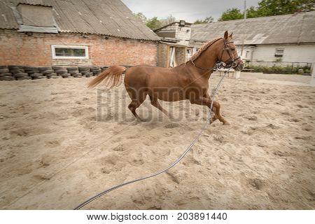 purebred young brown arabian horse at farm running