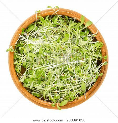 Alfalfa microgreens in wooden bowl. Cotyledons of Medicago sativa also called lucerne. Young plants, seedlings, sprouts for use in salads or sandwiches. Macro food photo close up from above over white