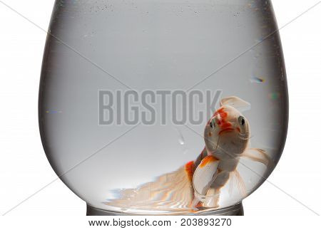 orange and white Koi carp looking at camera in a glass tank on white