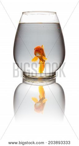 red Koi carp looking at camera in a glass tank on white with clipping path