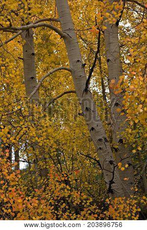 Colorado Rocky Mountain Scenic Beauty - Aspen Trees in Autumn