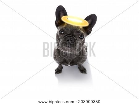 french bulldog dog with guilty conscience with angel halo on the head isolated on white background poster