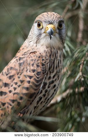 A close upright vertical portrait of a female kestrel perched in a tree with a natural background and staring forward at the camera