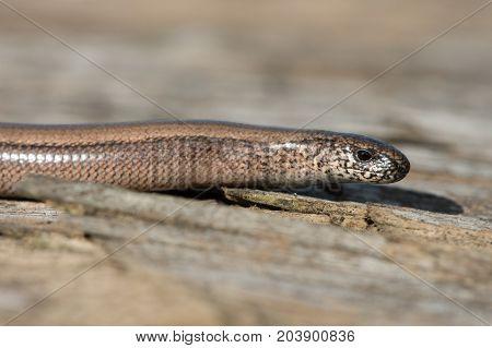 Slow Worm (Anguis fragilis) on wooden refugia