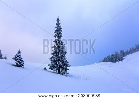 Snow-covered spruce trees stand in snow swept mountain meadow under a gray winter sky.
