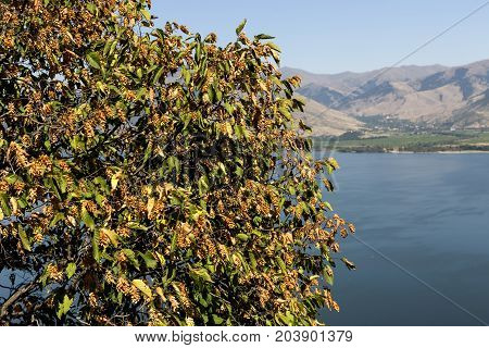 European hop-hornbeam (Ostrya carpinifolia) grows in the mountains against the backdrop of the lake