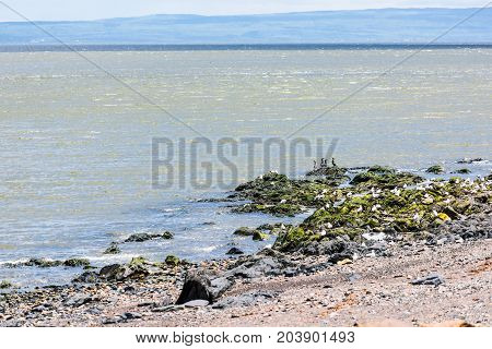 Rocky beach shore on Saint Lawrence river in Saint-Irenee Quebec Canada in Charlevoix region with seagulls and great black cormorants birds rocks waves mountains hills green seaweed