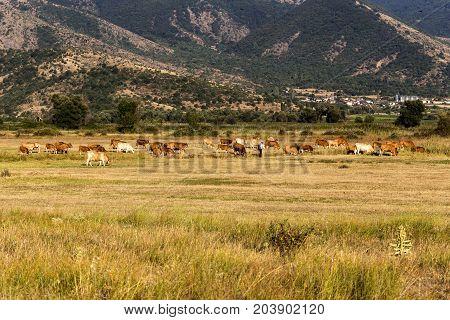 Animal husbandry. Cows graze on the high-mountain meadow at sunset time (northwestern Greece, Macedonia)