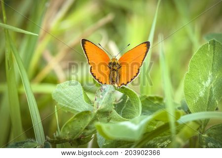 Orange Scarce Copper Butterfly (lycaena Virgaureae)