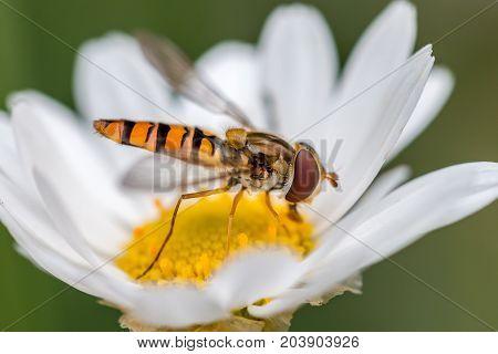 closeup of a hoverfly on a daisy