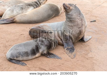 A Cape Fur Seal pup Arctocephalus pusillus suckling on its mother at Cape Cross on the Skeleton Coast of Namibia