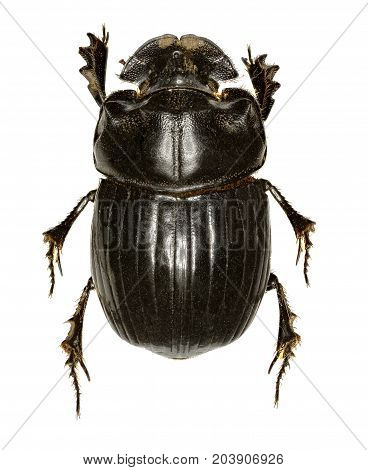Horned Dung Beetle on white Background - Copris lunaris (Linnaeus 1758)
