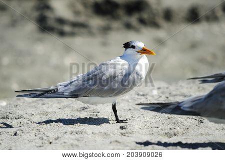 Royal Tern on beach at Sanibel Island