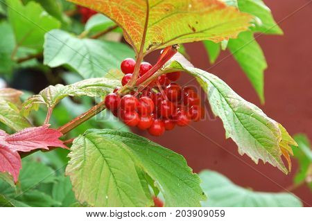 Autumn collection.bunches of viburnum with red leaves