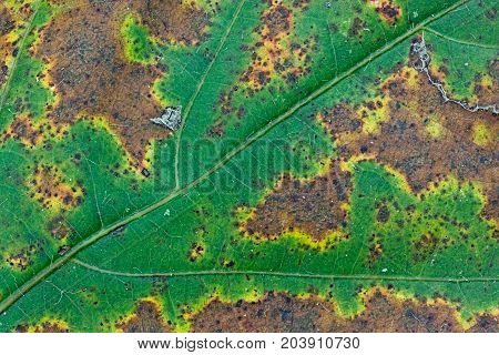 An autumn leaf goes through a colorful metamorphosis. Though its veins are still prominent they can not stop the bright green leaf from changing into autumn yellows browns and orange colors.