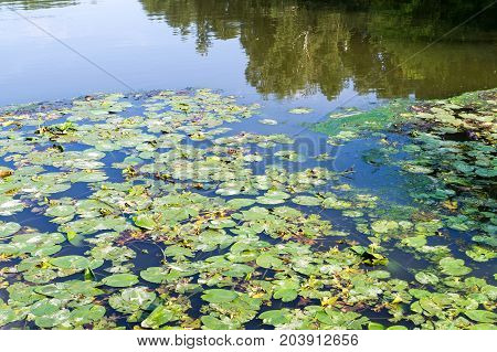 green water lily leaves in forest pond. background nature.