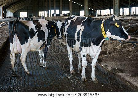 Black and white cows in livestock farm, Dairy farm concept