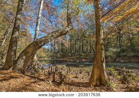 A river birch and a bald cypress tree growing along a creek in the appalachian mountains of northeast Mississippi.