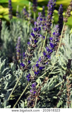 Lavender flowers in the garden.Lavandula angustifolia.Floral background.Selective focus.