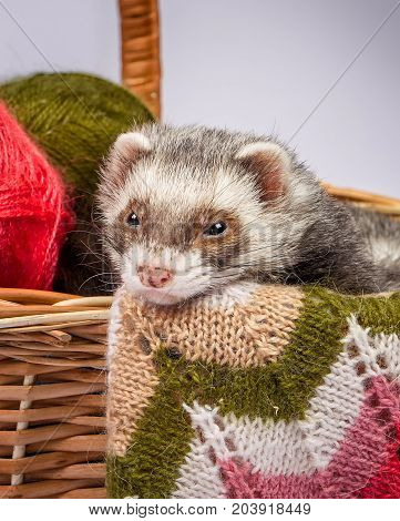The pretty sable ferret sitting in a basket with colorful balls of yarn