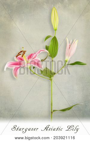 Stem of Stargazer lily flowers on textured green background with text. Botanical concept.