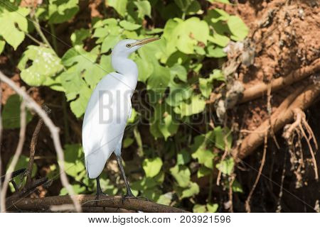 cattle egret which stands on a dry branch in coastal thickets