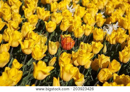 one red tulip on the yellow tulip background