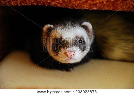Cute sable ferret boy hiding in a sofa bed