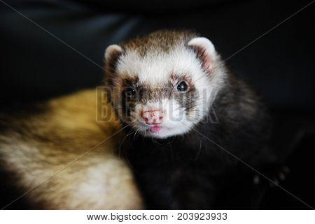 Cute sable ferret (polecat) - an active pet and companion