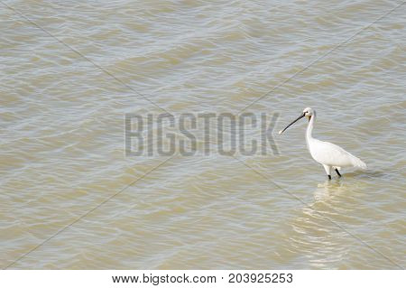 A common spoonbill in the natural reserve of the lagoon of medina, located in Andalusia in the south of Spain