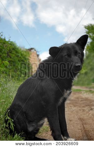 Funny big black mongrel dog with protruding ears sitting on the road and looking to camera