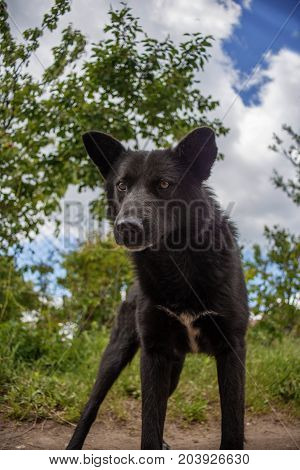 bottom view of black mongrel dog ready to fight