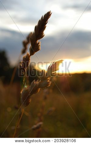 Macro shot of a straw of wheat grass back lit by the sun rising.