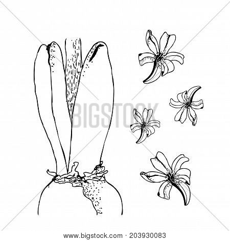 Set of vector hand drawn line art bulb pot flowers. Spring hyacinth, for Easter decor, garden backgrounds, floral design. Ink illustration