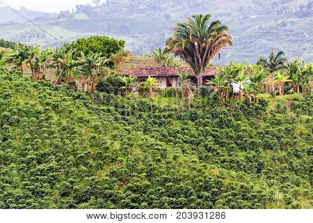 Old farmhouse on hill surrounded by coffee plants near Manizales Colombia