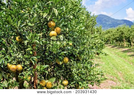 Walkway in the farm and orange fruit on the tree with green leaves at the citrus orchard under the bright blue sky at the fruit growing area of northern Thailand.