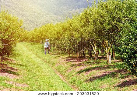 Farmer on the walkway in the farm and orange fruit on the tree with green leaves at the citrus orchard under the sunlight at the fruit growing area of northern Thailand